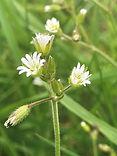 ECO Common Mouse ear - Cerastium fontanu