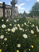 ECO Ox eye daisy - Leucanthemun vulgare.