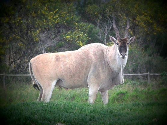 Livingstone Eland Bull