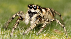 jumping_spider.png