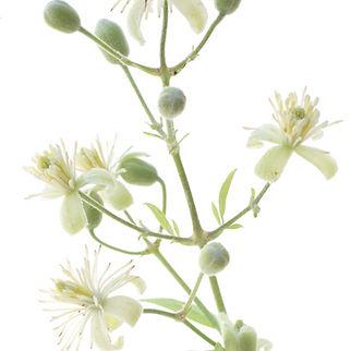 fleur de bach - plant.jpg