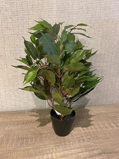 Mini ficus plant