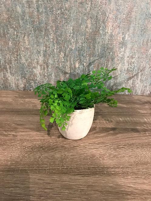Maiden hair in pot