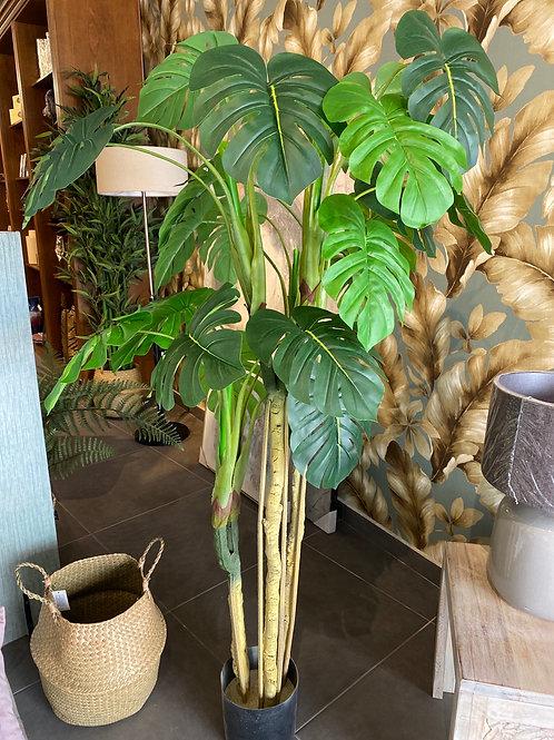 Large Monstera plant