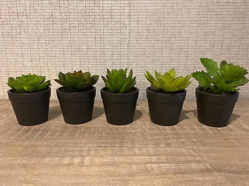 Assorted succulent in pot