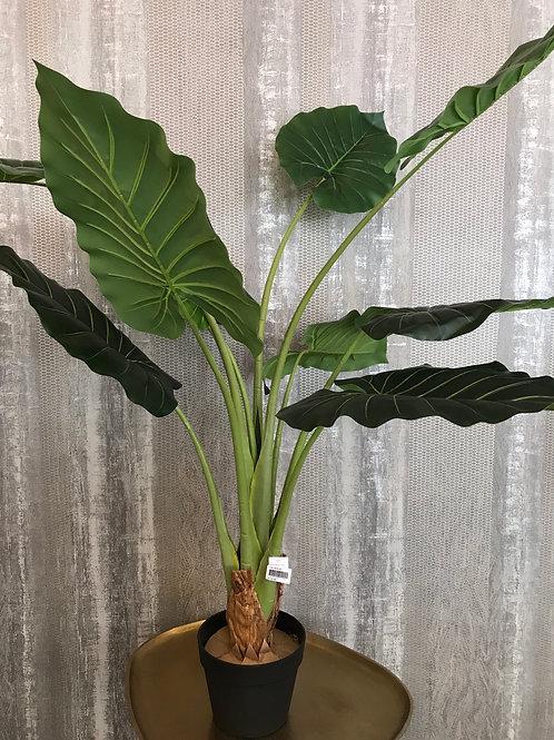 Calladium plant