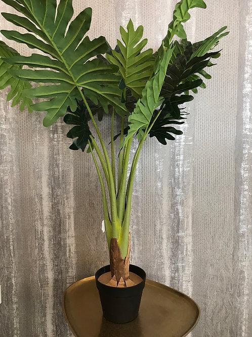 Philo plant