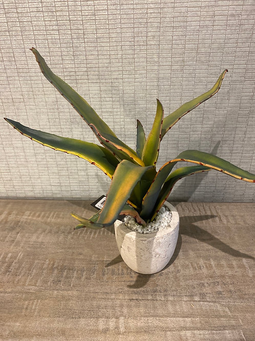 Aloe in pot