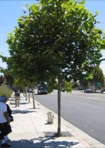StreetTrees.jpg