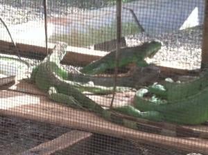 CR_iguanas.jpg