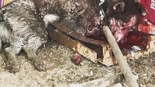 Убийство сибирской хаски в Оренбургской области