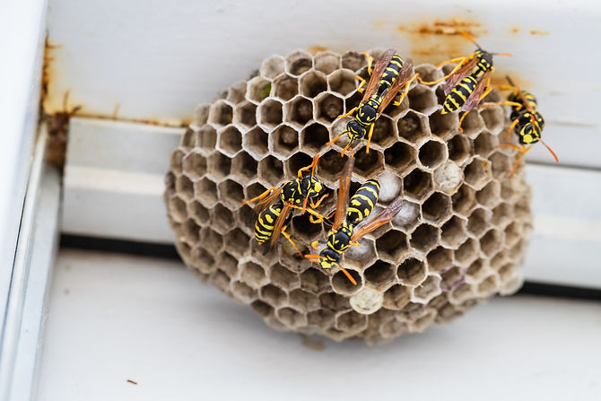 Yellow jacket nest on door frame.jpg