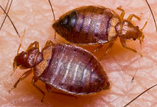 Two bed bugs on human skin | pest control | long island