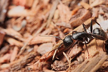 Carpenter ant on wood chips | pest control | long island