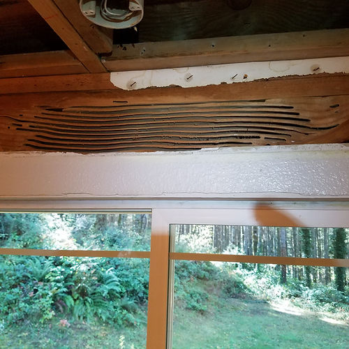 Carpenter ant tunnels in wood window header
