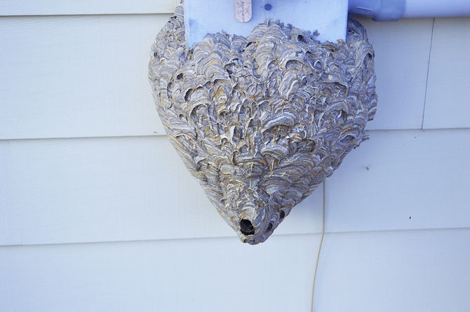 nest-of-bald-faced-hornets-on-house