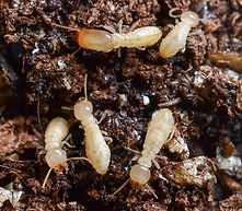 Termites foraging in soil | pest control | long island