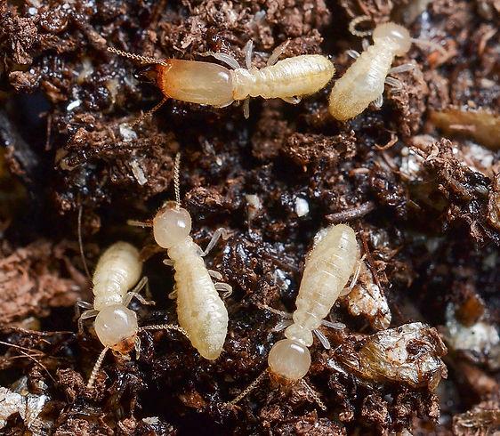 Eastern subterranean termites in soil.jpg