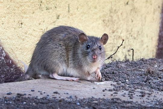 Norway-rat-sitting-on-concrete-ledge.jpg