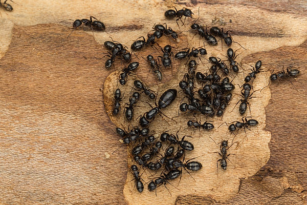 Black carpenter ant queen with nest mates on firewood.jpg