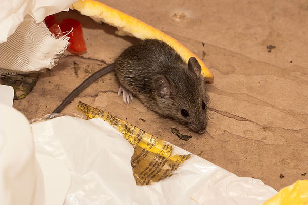 House mouse sitting on wood table.jpg