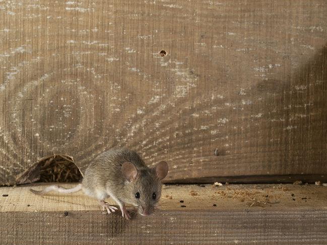 House mouse on wood ledge.jpg
