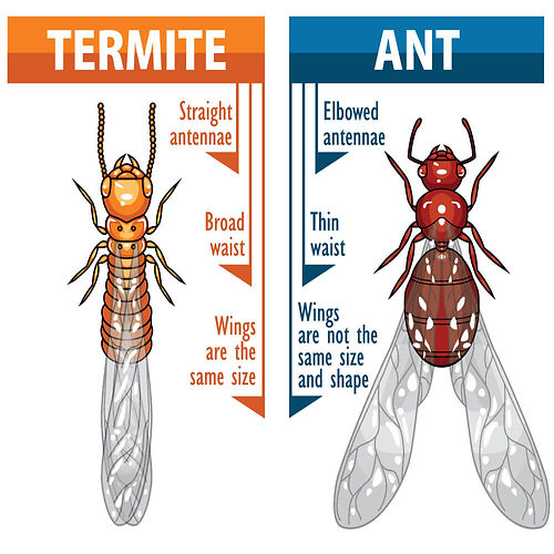 winged-termite-next-to-winged-ant.jpg