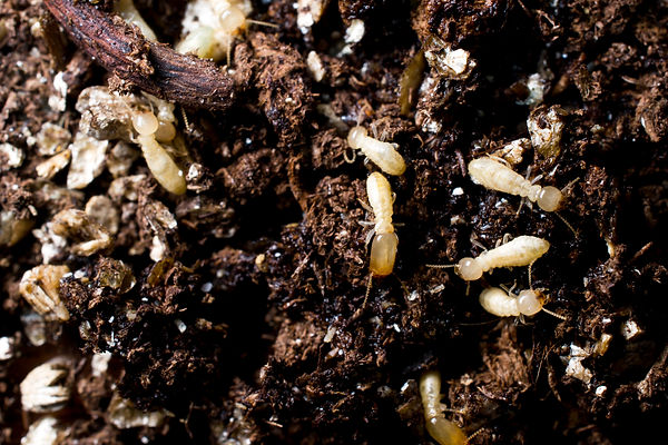 Subterranean termites in soil.jpg