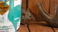 Mouse on wood shelf hiding behind paint can | pest control | long island