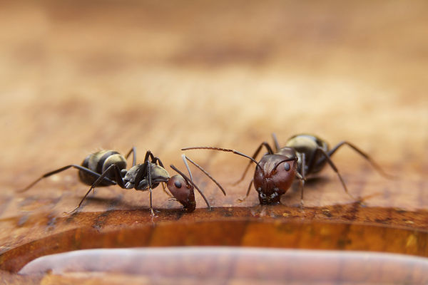 Ants eating some water on table.jpg