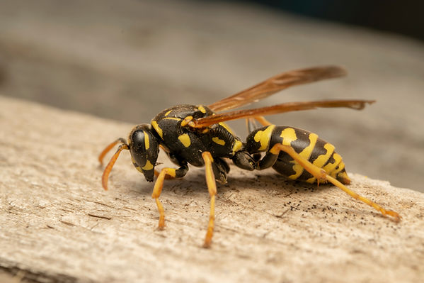paper-wasp-resting-on-wood.jpg
