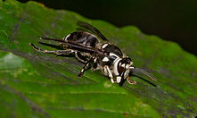 Bald faced hornet resting on a green leaf | pest control | long island
