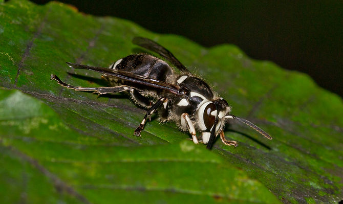 bald-faced hornet resting on green leaf.jpg.jpg