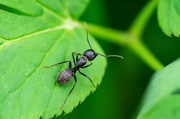 Black Carpenter Ant on Leaf.jpg