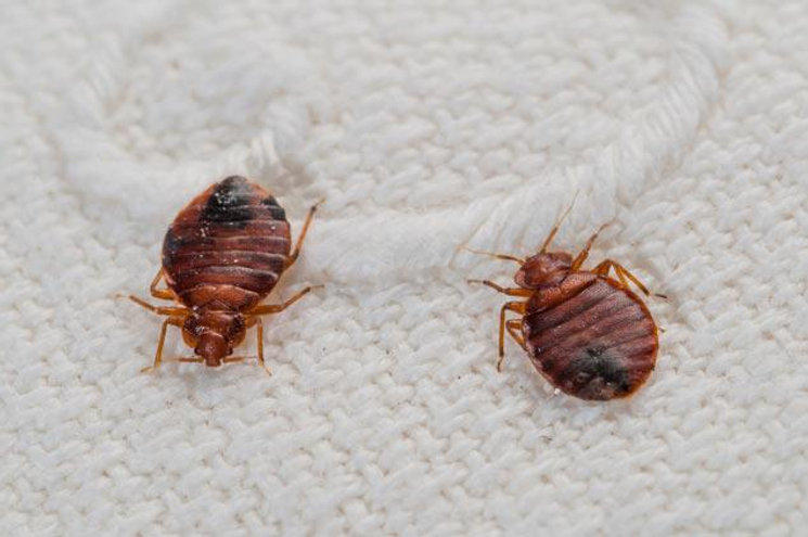 Two bed bugs on blanket.jpg