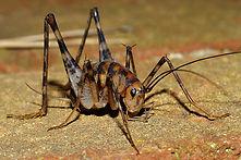 Camel cricket on basemet floor | pest control | long island