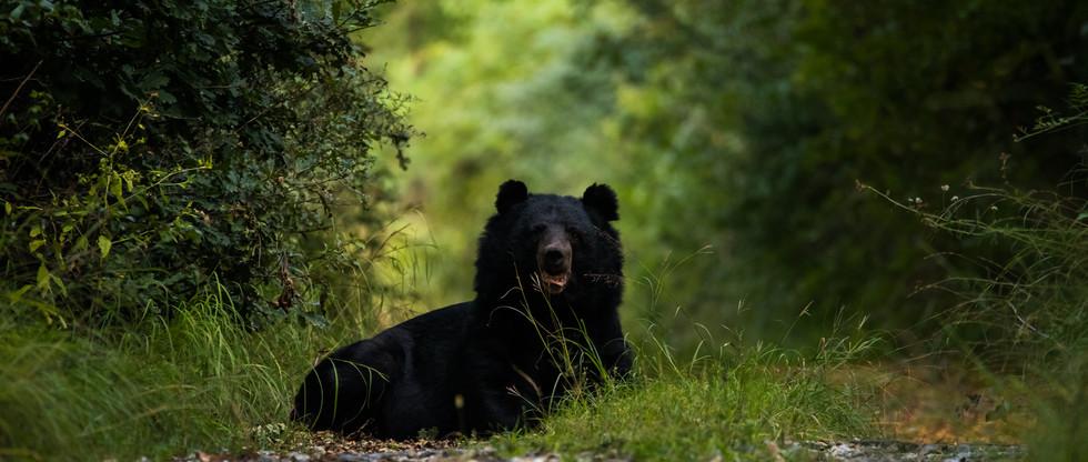 bear india fauna