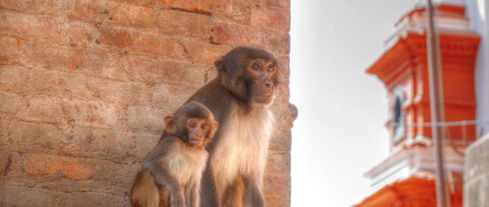 uppermustang  monkeys