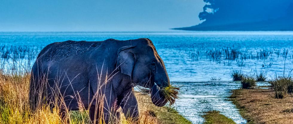 elephant india fauna