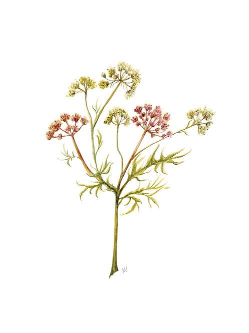 Galbanum Botanical Watercolor Print