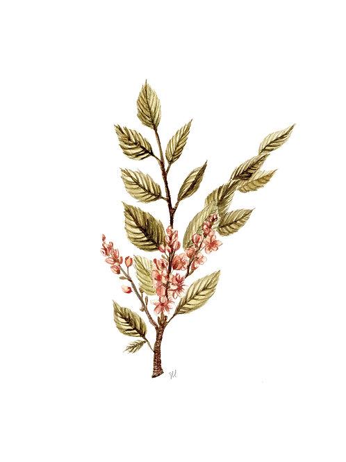 Frankincense Botanical Watercolor Print
