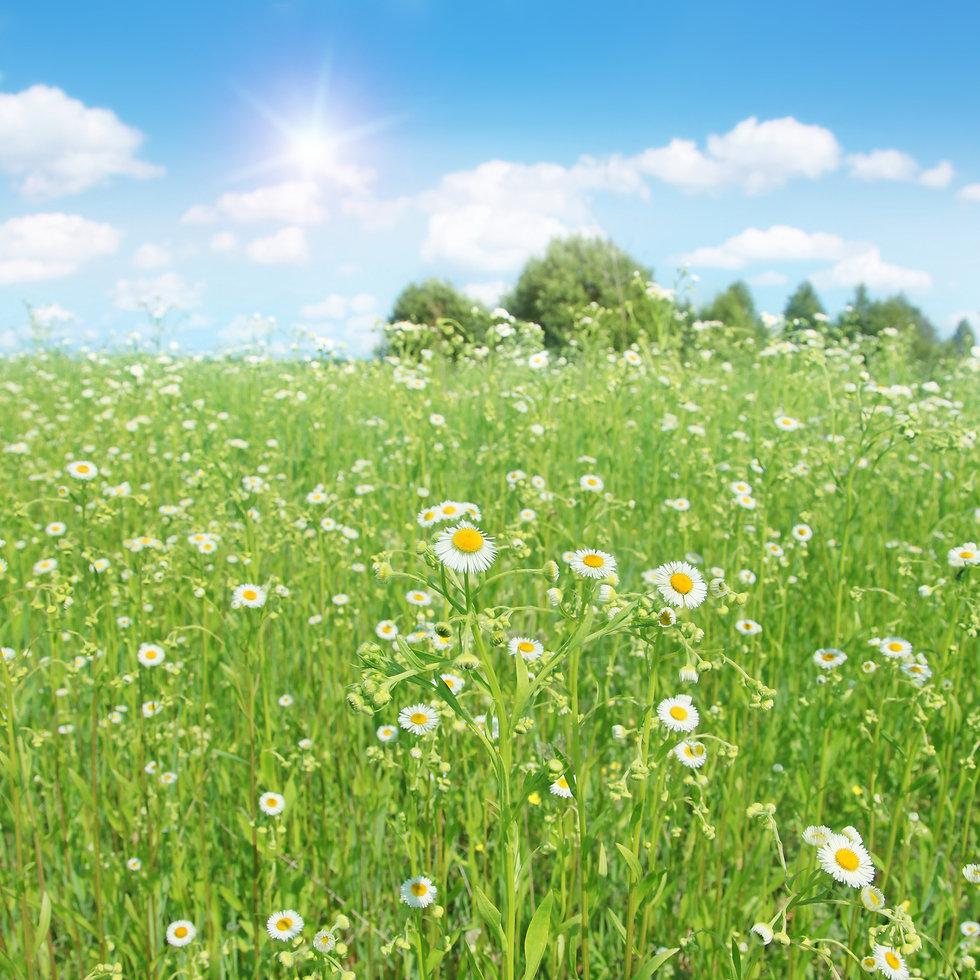 bigstock-Summer-landscape-with-daisy-fi-
