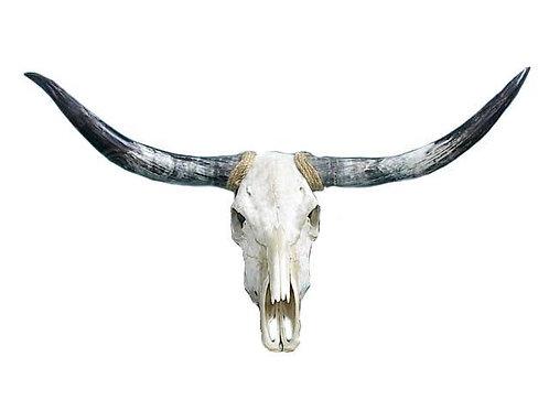 Texas Long Horn Skull