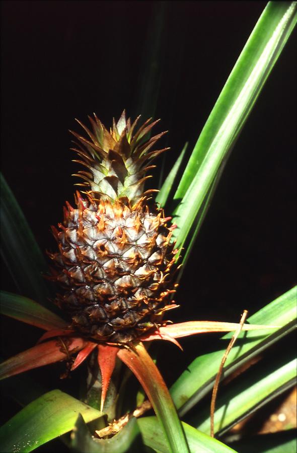 ananaspousse01