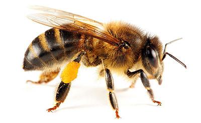 Bee Stings 101