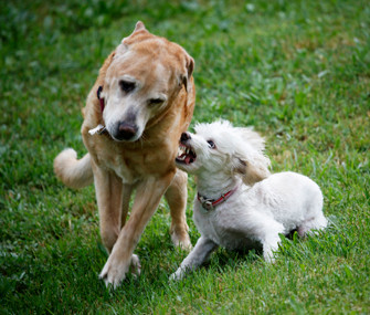 Introducing a Pup Visitor to your Resident Top Dog - 3 Easy Steps