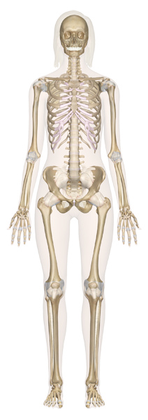 SK-Female-Anterior_1.png