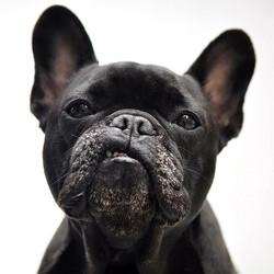 black_french_bulldog_portrait.jpg