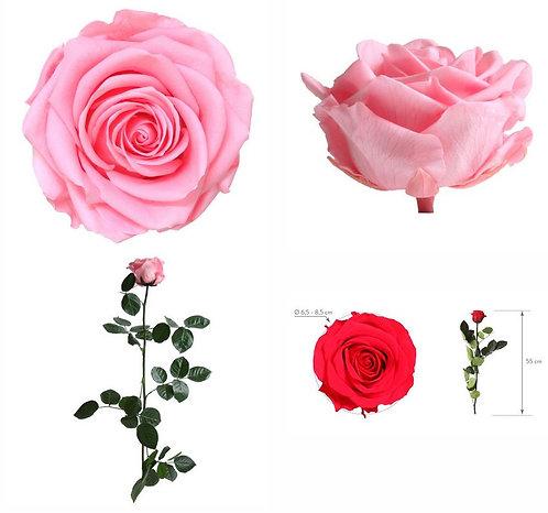 1 ROSE A TIGE ROSE PASTEL PREMIUM