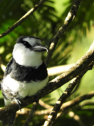 White-Necked Puffbird sighted during a jungle hike